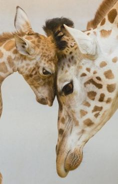 Wildlife - Touching giraffes together.