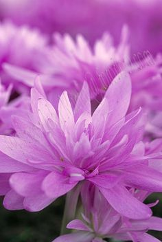 Autumn Crocus (Colchicum waterlily)