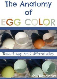 The Anatomy of Egg Color - Despite the fact that these eggs look like they are four different colors there are actually only two colors present. Discover the science behind egg color. Wicked Chicken, Chicken Chick, Chicken Eggs, Backyard Poultry, Backyard Farming, Chickens Backyard, Raising Quail, Raising Chickens, Chicken Tractors