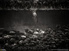 マラ川での野生動物のジャンプ by Nicole Cambré
