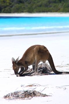 Lucky Bay, Esperance Western Australia. One of the few places you will see kangaroos playing on the beach