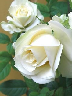 the beautiful flowers Beautiful Roses, Beautiful Gardens, White Roses, White Flowers, Garden Pictures, Kinds Of Salad, Pretty Flowers, Bouquet, Florists