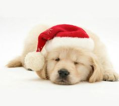 All I want for Christmas....golden pup