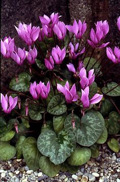 Cyclamen purpurascens - winter bedding scheme - flowers as well as foliage and can fill big spaces quickly