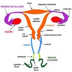 Partie externe du col de l'utérus, qui s'ouvre dans le vagin. Du grec exo et du latin cervix. Appelé aussi :Exocervical (adj. – SNOMED) – Exo-cervicales – Col – Col de l'utérus (en réalité …