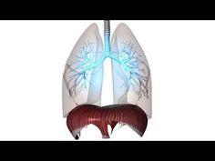 Diaphragma-Zwerchfell - YouTube