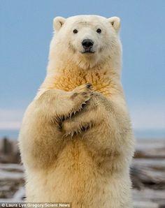 Save The Polar Bears, Baby Polar Bears, Cute Polar Bear, Cute Bears, Baby Pandas, Baby Giraffes, Giant Pandas, Baby Otters, Teddy Bears