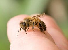 Keep bees and wasps away! Eucalyptus!