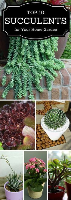 Succulents for your home garden
