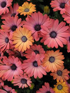 African Daisies. I need to plant some of these. So simple and pretty