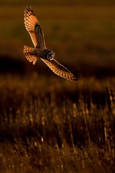 Coruja-do-nabal - http://www.rspb.org.uk/wildlife/birdguide/name/s/shortearedowl/index.aspx