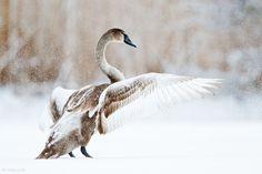 """Juvenile Mute Swan Landing on Snow"" - © Johan Lind"