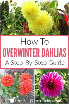 Have you been buying new dahlia flowers every year? You can save yourself some money at the garden center, and still enjoy the beautiful blooms by overwintering the bulbs to plant again next spring. Learn everything you need to know with this step by step guide on how to store dahlia tubers indoors during the winter months for successful growth next summer. Find out when to dig up the bulbs in the fall, get all the tips to keep them healthy, and free from rotting during the winter months. Starting A Garden, Seed Starting, Organic Vegetables, Growing Vegetables, Gardening For Beginners, Gardening Tips, Diy Projects On A Budget, Dahlia Flowers, Overwintering
