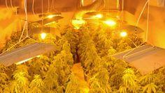 Optimización de un cultivo interior de Marihuana