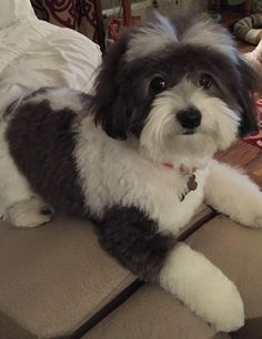 Facts On The Funny Havanese Puppy Grooming Havanese Haircuts, Havanese Grooming, Dog Haircuts, Havanese Puppies, Dog Grooming, Maltipoo, Bichon Havanês, Pet Dogs, Dogs And Puppies