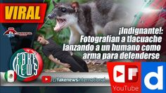 ¡Indignante!: Fotografían a tlacuache lanzando a un humano como arma par...