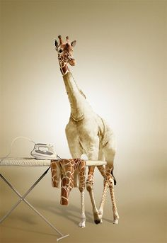 So awesome! I love giraffes.