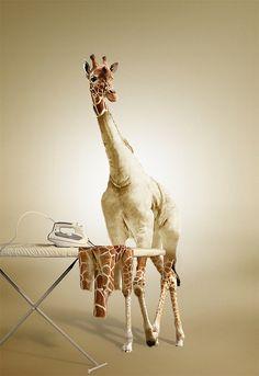 So awesome! I love giraffes.