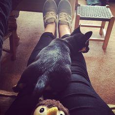 #Baxter #Jackchi #Puppy