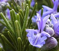 Rosemary flower means loyalty and remembrance.