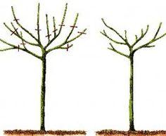Poda de formacion árboles de sombra