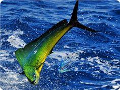 Deep Sea Fishing Charters Charleston, SC..............Dauphin,,, not, dolphin, also known as Mahi Mahi.