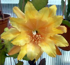 Acapulco Sunset, a hibiscus yellow hybrid that is one of a kind. Large.