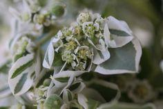 White & Green Flower,Stellenbosch,March 2014