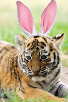 """""""Lions and tigers and ... bunnytigers, oh my?"""" -- From Zoo Boise in 2011, quite possibly the cutest Easter Bunny imposter ever!"""