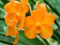 coelogyne fuliginosa | Orchidee, Coelogyne fimbriata syn c. Fuliginosa