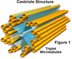 Centrioles are involved in the organization of the Mitotic spindles. Centrioles play an important role in cell division. They are a pair of structures that are composed of microtubules Cell Biology, Teaching Biology, Animal Cell Structure, Structure And Function, Cell Membrane, The Cell, Anatomy And Physiology, Medical, Metabolism