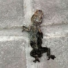 A dead, squashed lizard in Valencia, Spain. For some free installments of my morbid work, go to http://www.tyleanpolley.com