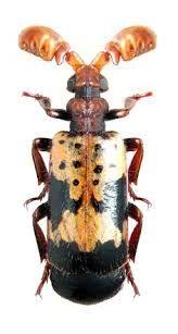 「Amylopterus」の画像検索結果