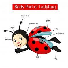 Diagram showing body part ladybug Royalty Free Vector Image Learning English For Kids, Teaching English Grammar, English Lessons For Kids, Grammar And Vocabulary, Spanish Language Learning, English Vocabulary, Vocabulary Games, English Language, Preschool Learning Activities