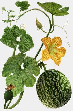 Elaine Searle, squash plant