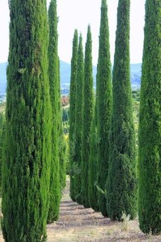 how to grow italian cypress from seed