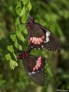 True Cattleheart Butterflies, Parides Arcas, mating. Wings of the Tropics, Fairchild Tropical Botanic Gardens