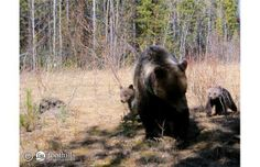 Alberta's budget to protect grizzly bears gets big boost