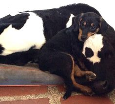 Rescue Puppy Can't Get Enough Of His Favorite Cow