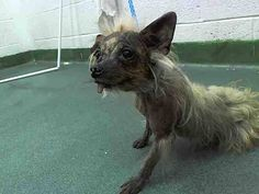 YESSS!!! SNUGGLES (A1640867) I am a male tan Yorkshire Terrier.  The shelter staff think I am about 10 years old.  I was found as a stray and I may be available for adoption on 09/09/2014. — Miami Dade County Animal Services. https://www.facebook.com/urgentdogsofmiami/photos/pb.191859757515102.-2207520000.1409871527./834395073261564/?type=3&theater