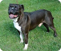 Livonia, MI - Boxer/American Bulldog Mix. Meet Harley, a dog for adoption. http://www.adoptapet.com/pet/11491826-livonia-michigan-boxer-mix