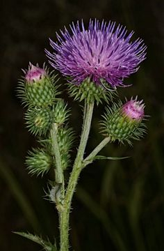 Thistle.  Common name of a group of flowering plants characterised by leaves with sharp prickles on the margins, mostly in the family Asteraceae