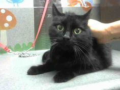 Available for adoption at Moreno Valley CA.  This sweetie was not even given a name by the shelter.  Male black DSH.  ID467625 www.PetHarbor.com pet:MRVL.A467625