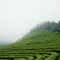 Green tea field...beautiful.