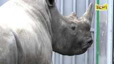A four-year-old rhino was found shot to death with a horn hacked off—a new twist in the ongoing slaughter of the vulnerable animals.