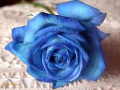 Show blue rose flowers hd wallpaper and picture. Information about blue rose flowers. Rose flowers is one of popular flower in United State. Rarely seen blue roses, but roses are very beautiful blue. Beautiful Roses, Blue Flowers, Red Roses, Beautiful Flowers, Blue Carnations, Send Flowers, Yellow Roses, White Roses, Pink Yellow