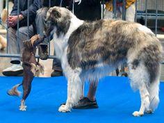 Chinese Crested Dog and Bozoi - Chinesischer Schopfhund und russischer Barsoi