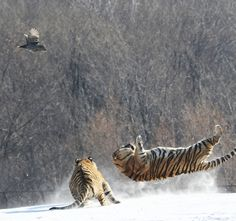 Tiger airborne by Adam Wong on 500px