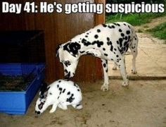 Day 41: He' s getting suspicious #FunnyPhotosGR #funnyphotos #funnyanimals #dogs #funnydogs