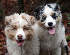 Australian Shepherd puppies out of Ninebark Aussies.
